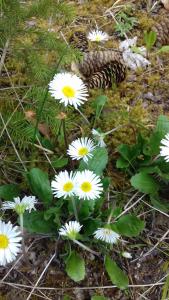 Gänseblümchen oder Alpenmaßliebchen